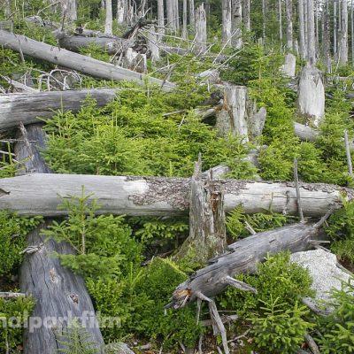 Zigtausende kleiner Fichten wachsen zwischen den abgestorbenen alten Fichten (Foto von 2005)