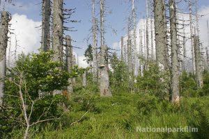 Vom Borkenkäfer befallene Bäume im Lusengebiet des Nationalparkes Bayerischer Wald