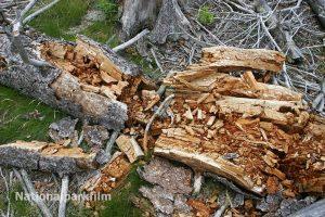 Totholz ist Lebensraum für zahllose Tier- und Pflanzenarten - Nationalpark Bayerischer Wald