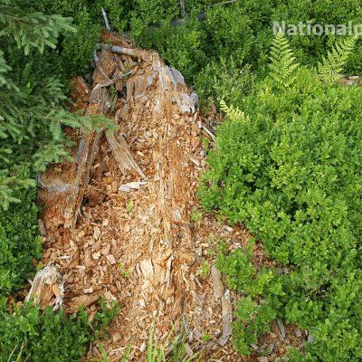 Totholz bietet Insekten und Pilzen einen extrem wichtigen Lebensraum im Wald