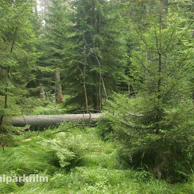 So wird der wilde Wald im Nationalpark Bayerischer Wald einmal fasr überall aussehen