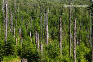 Wilder neuer Wald am Lusen